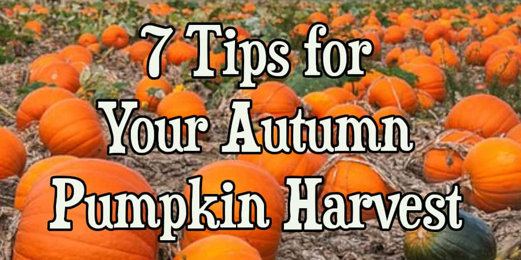 7 Tips for Your Autumn Pumpkin Harvest