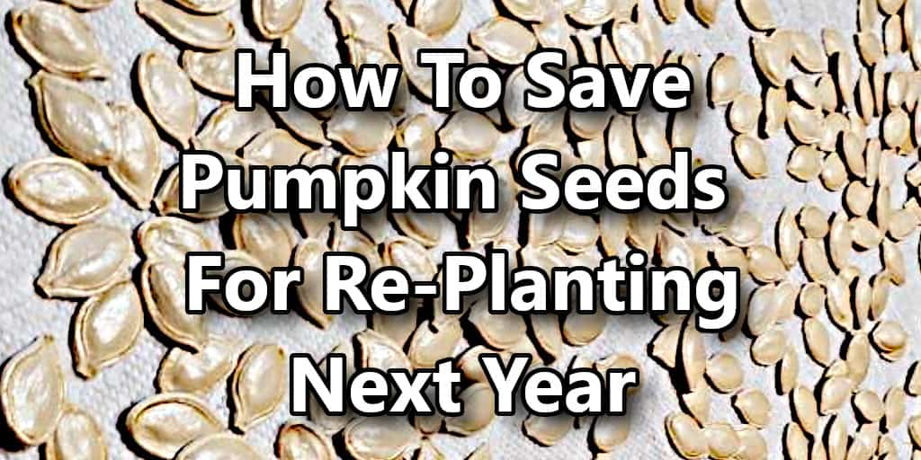 How to Save Pumpkin Seeds for Re-Planting Next Year